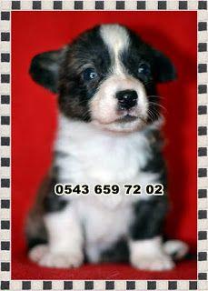 satılık yavru köpekler (Pet Station): satılık welsh corgi (korgi) yavruları 0543 659 72 ...
