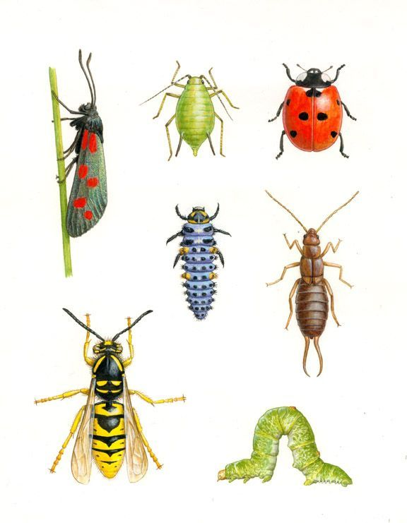 drawings of insects   drawing of insects common in Norway   Printables. 74 best insects images on Pinterest   Drawings of  Insects and Adele
