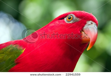 sumptuous red parakeet, simply lovely