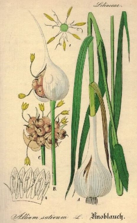 Garlic Allium Sativum (http://plantelemedicinale.info)