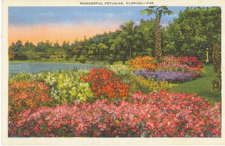 Vintage Florida Linen Postcard Wonderful Petunias Flowers