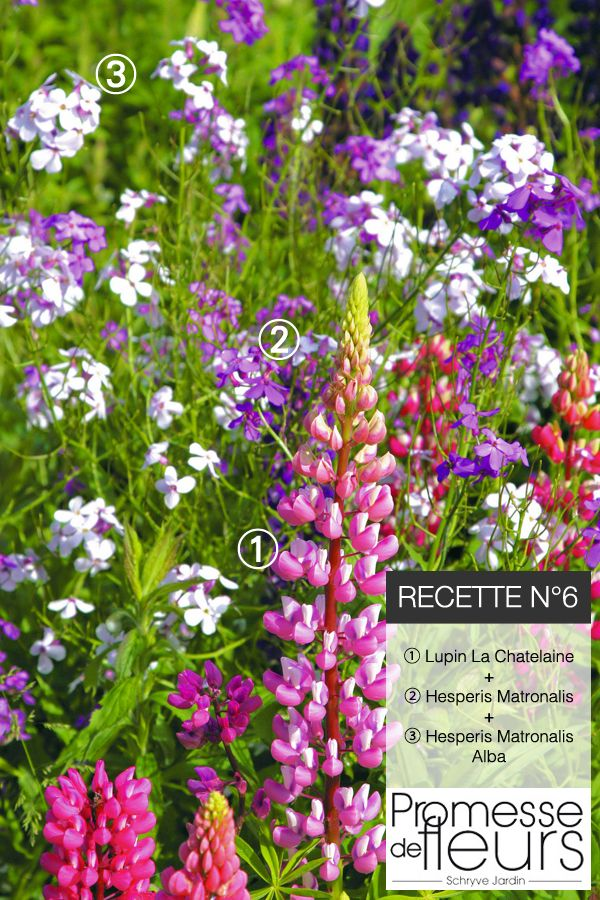 ✿ Recette de jardin #6 ✿ Pour un jardin bohême, voici les ingrédients: Lupin La Chatelaine + Hesperis Matronalis + Hesperis Matronalis Alba. On aime ces tons chez Promesse de Fleurs !