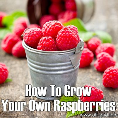 Raspberries are an easy fruit to grow! - they require very little maintenance and because they are perennial plants, there's no need to replant every year. Fruits come in many colours as well as red - there are yellow, white and purple too! We've discovered a very informative post written by a gardener who has a lot of experience and clearly has a passion for raspberries!