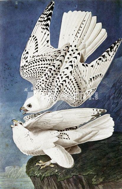 canto-delle-rondini:  I girifalchi bianchi (1837) John Audubon acquarello su carta, cm. 96,5x63,5 New York, The New York Historical Society Grazie a un uso sapientissimo della potenziale espressività offerta dalla sagoma dell'animale, Audubon crea una giustapposizione dell'uccello visto in volo e a riposo.