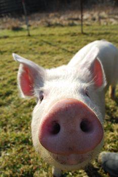 Nester - Farm Animal Rescue