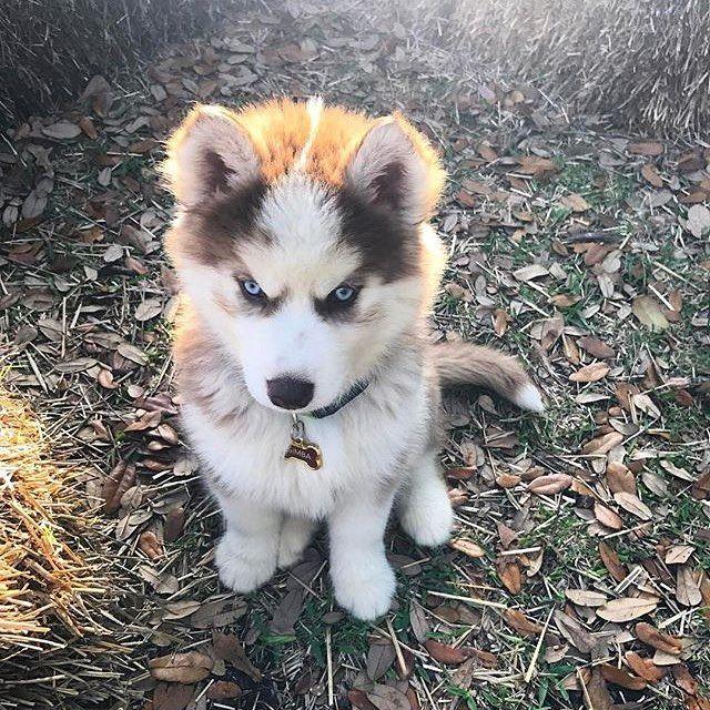 Angry Husky Pup Photography By Simbathehuskypup Regram