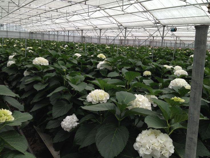 Hydrangea Schneeball in the greenhouse @Rob van Mastwijk. (Aug. 14)
