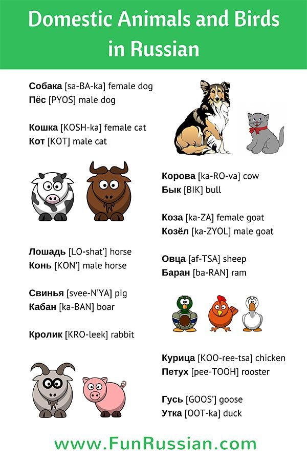 Learn the names of the domestic animals and birds in Russian in this fun Russian video lesson. Check out this infographic to help you practice new Russian words
