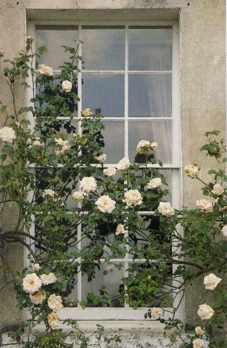 plant doringerige roos in balie voor elke venster?