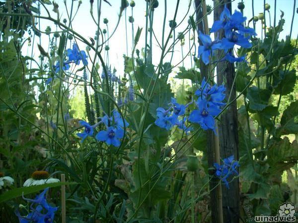 Delphinium belladonna 'Volkerfrieden' - Riddersporen in de Digituin.