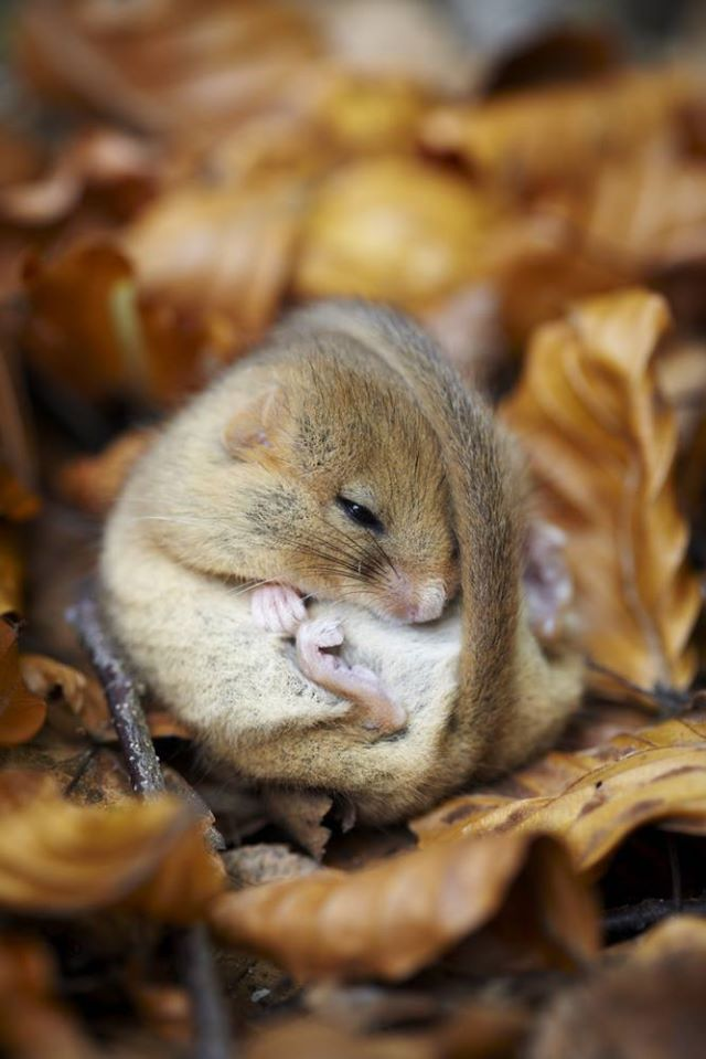 Sleepy dormouse.