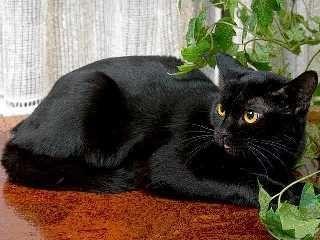 bombay kedisi - Google'da Ara