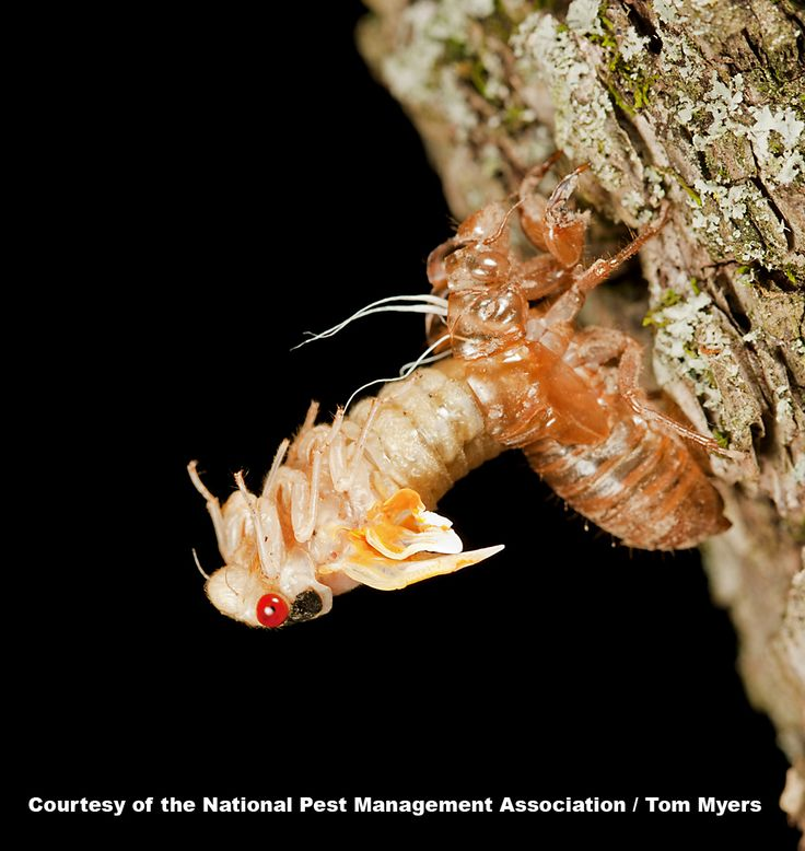There are at least 15 broods of periodical cicadas that emerge from underground in 13- or 17-year cycles in different parts of the U.S.