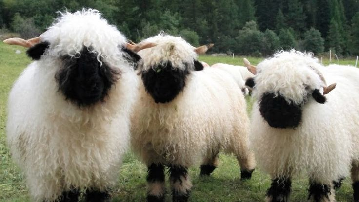 These adorable messes of curls are real-life sheep beasties and the breed is the Valais Blacknose Sheep. they are a domesticated sheep whose country of origin is Switzerland.