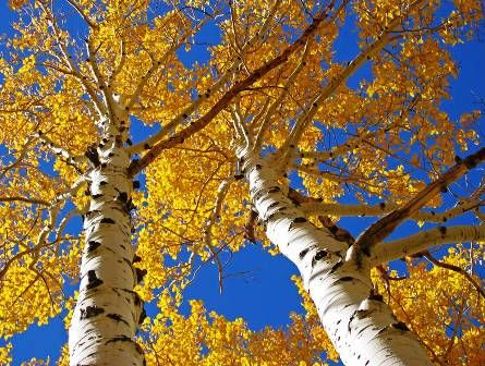 Autumn Paper Birch Tree Trees If Only They Could Speak