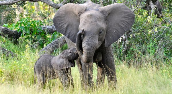 African Elephant Top 10 Animals Longest Gestation Period