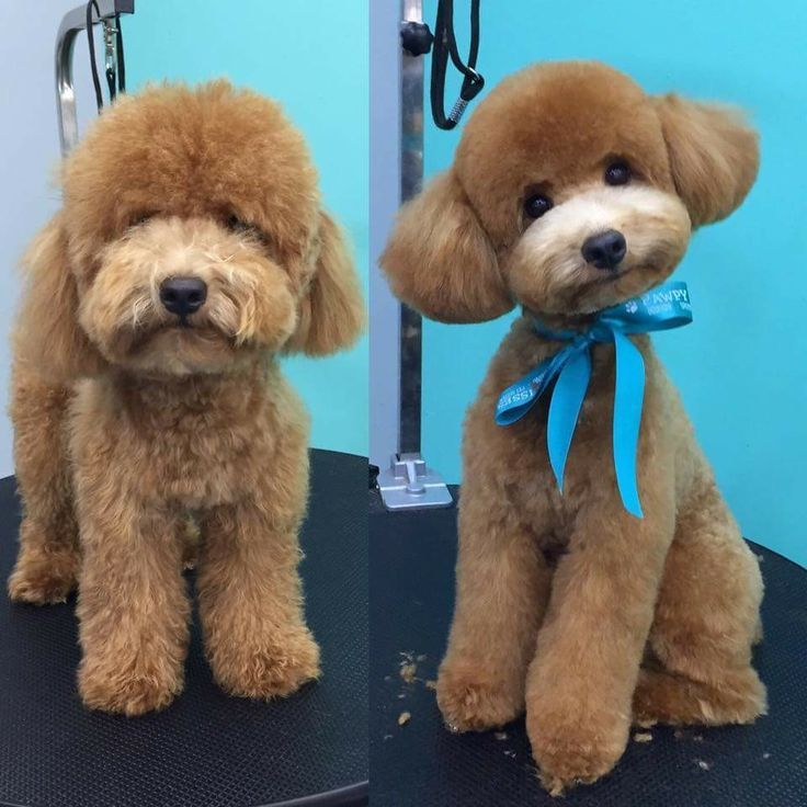 Image Result For Cockapoo Grooming Before And After Cockapoo Grooming Poodle Grooming Dog