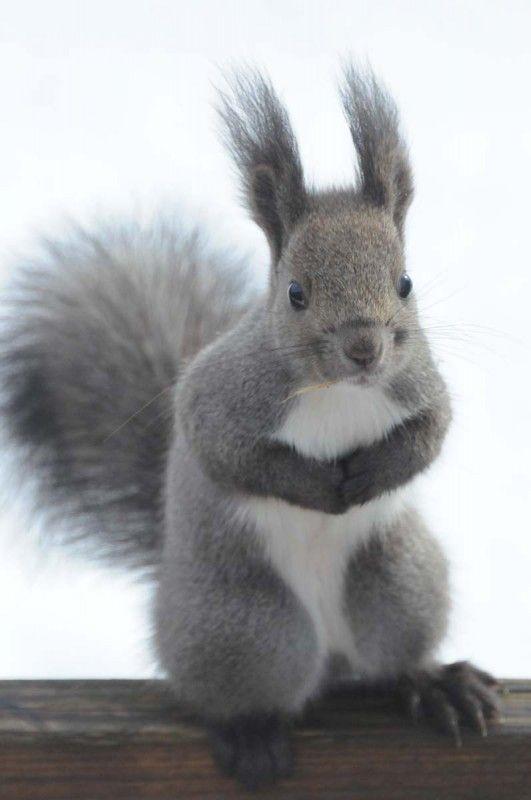 Hokkaido squirrel, Japan