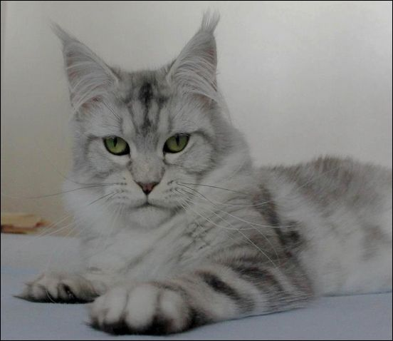 Maine Coon, Black Silver Blotched (ns 22). Gwendolina of Beyrouth