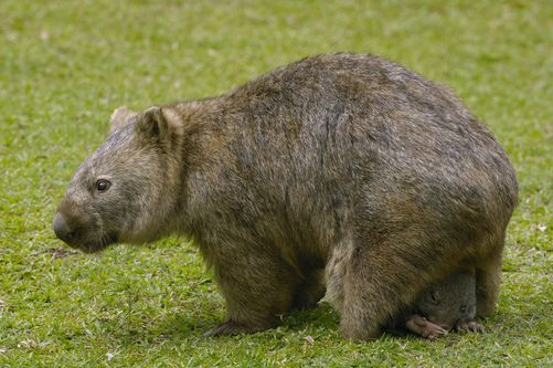 1292074.  Common Wombat (Vombatus ursinus) with baby in pouch, Australia