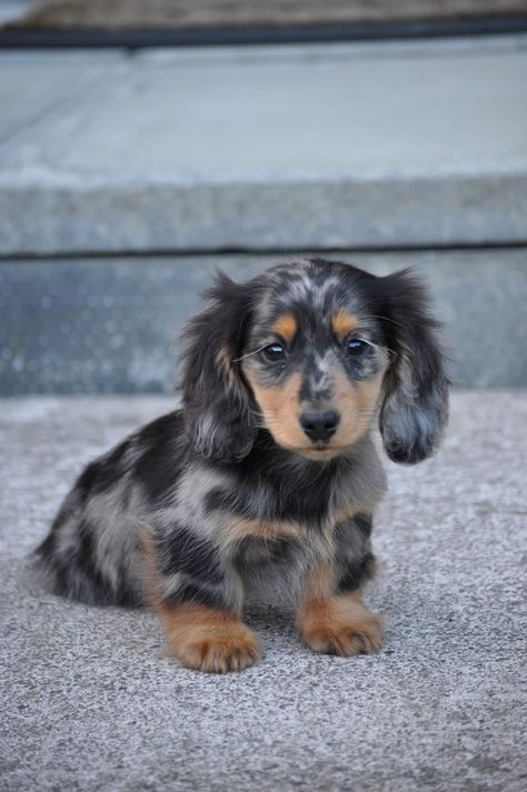 long haired dapple dachshund   Show us your pups thread - Overclockers UK Forums