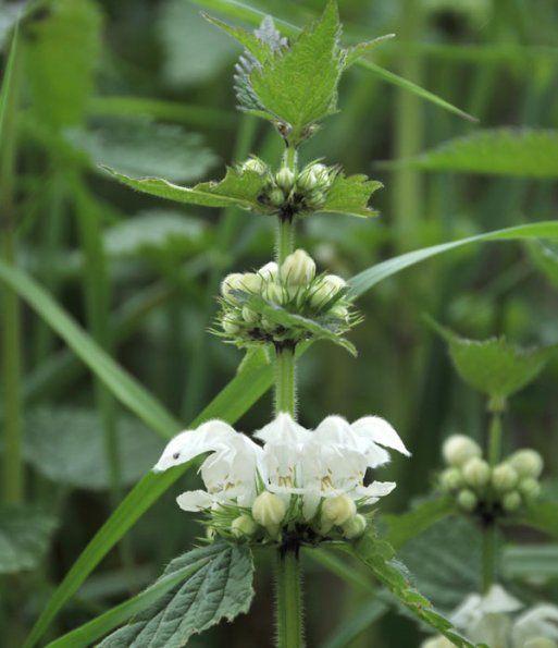 Witte dovenetel.                                      De bloemen van de witte dovenetel smaken lekker naar honing. Het uitzuigen van het nectardruppeltje is een echte lekkernij.