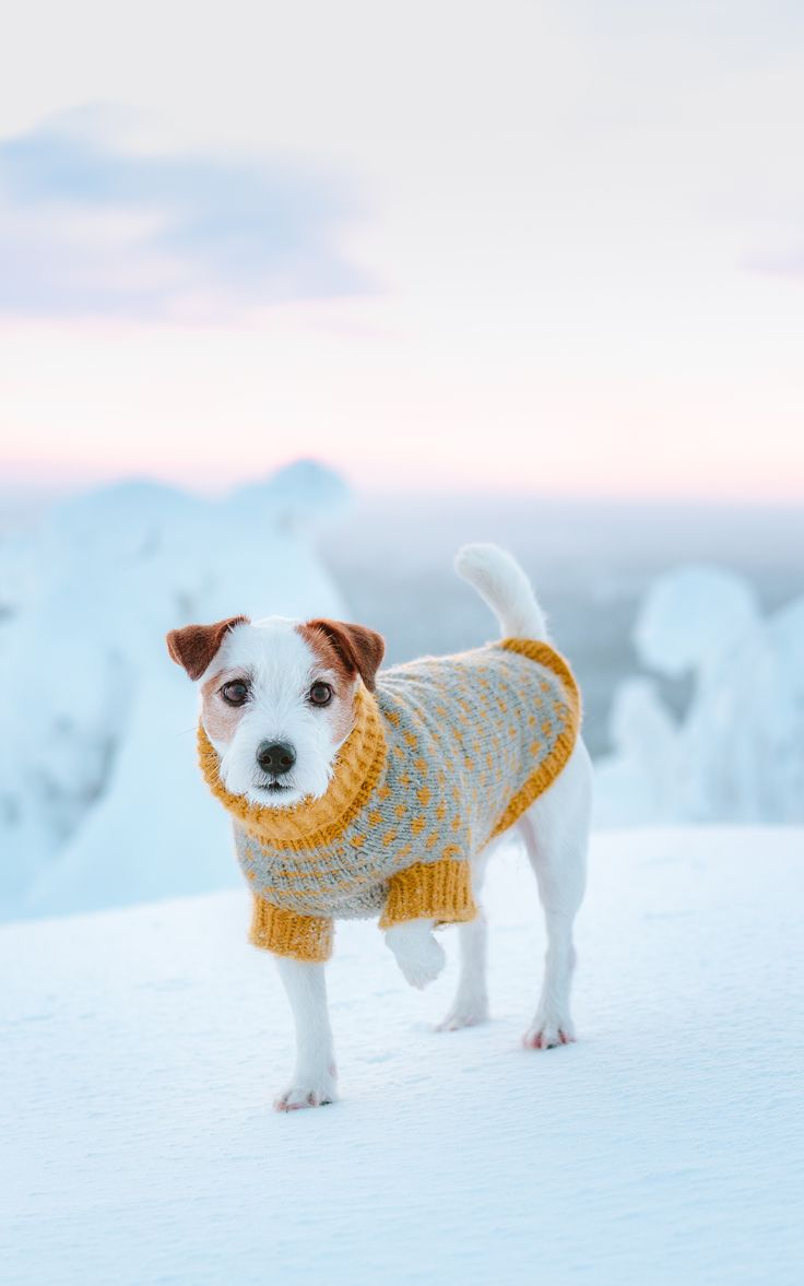 Cute Jack russell wearing a winter sweater. Winter Wonderland snowy puppy dog photography.