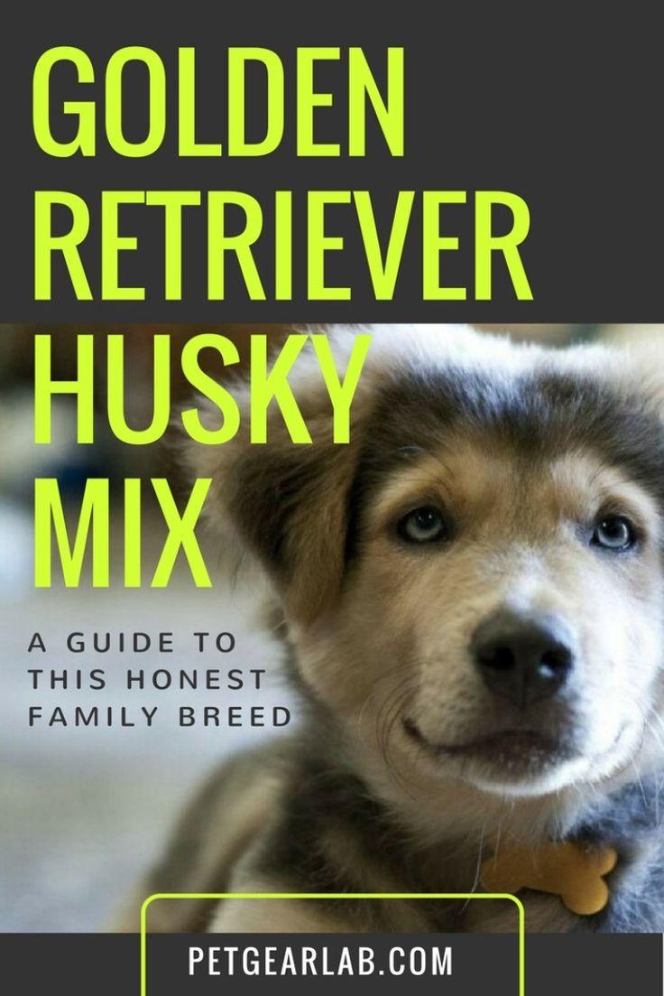 Golden Retriever Husky Mix : Goberians Are Made For Family Life