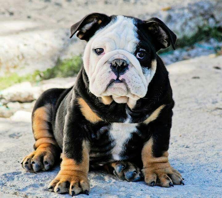 Beautiful colored baby bulldog