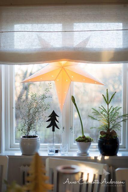 Julstjärnor i fönstren