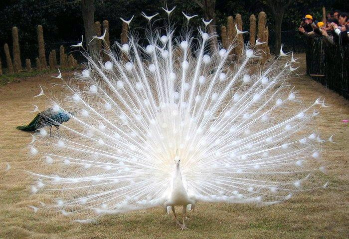 White Peacock | Super Cute Animal + Bird + Fish | Pinterest