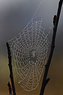 Spider web with dew drops.jpg