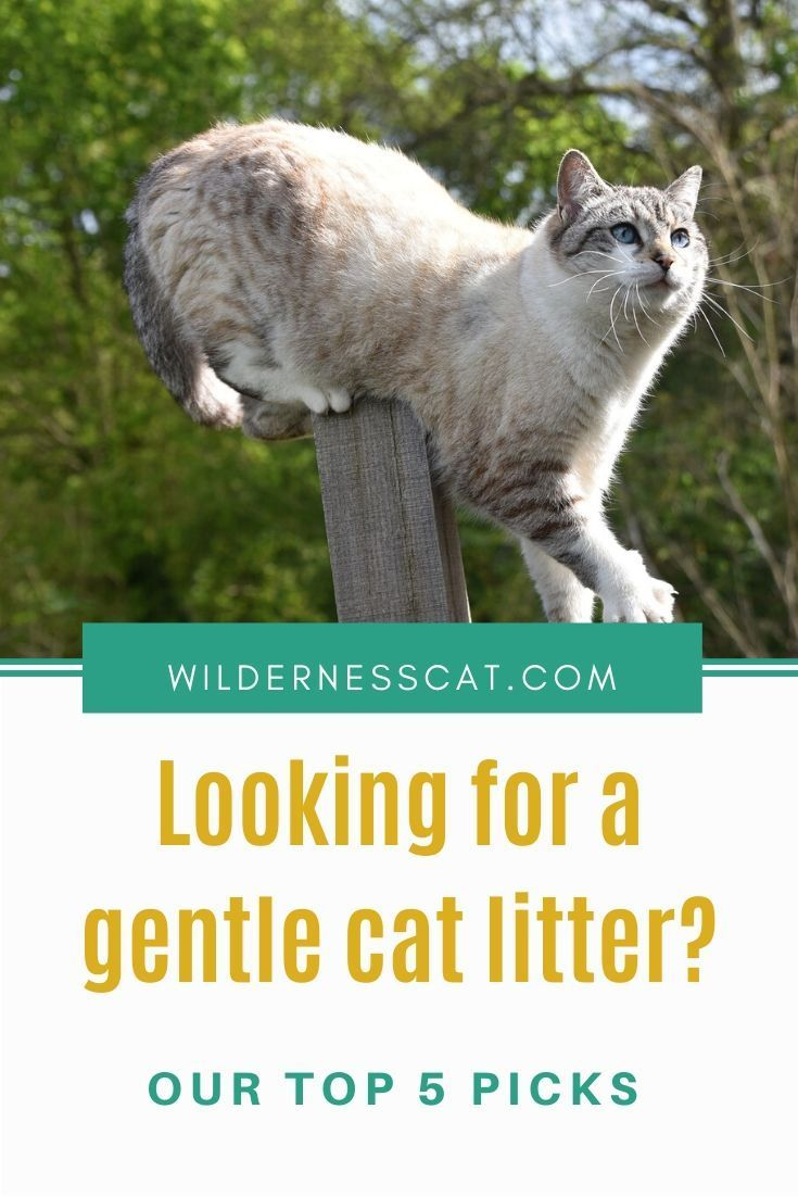 Best Cat Litter for Sensitive Paws Wildernesscat in 2020