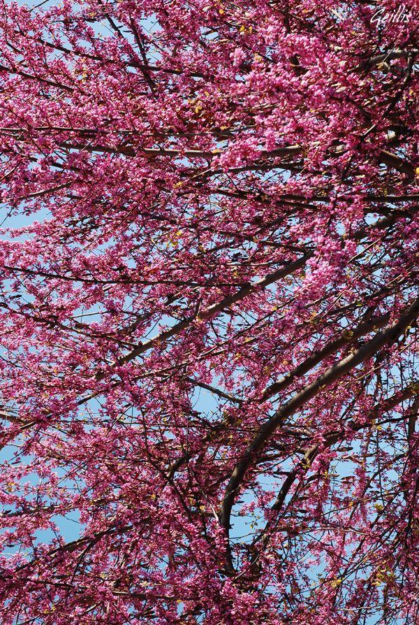 Flowering in springtime, Roma (fioriture primaverili a Roma) #pink
