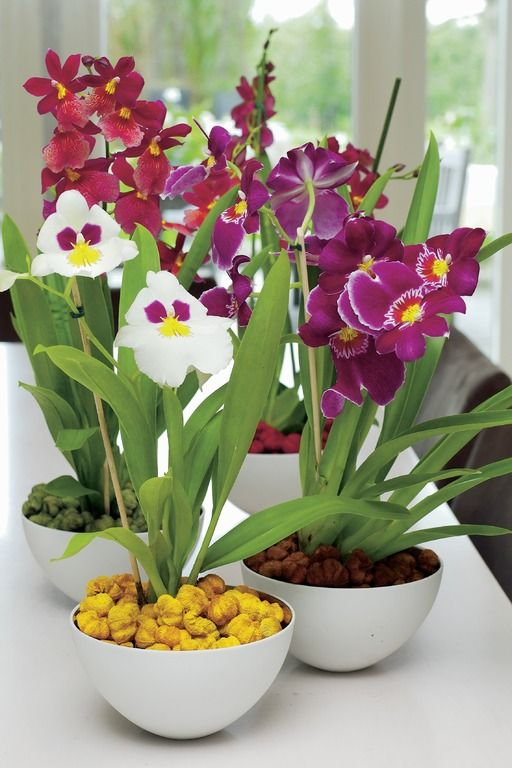 Miltonia orchids in different colours.