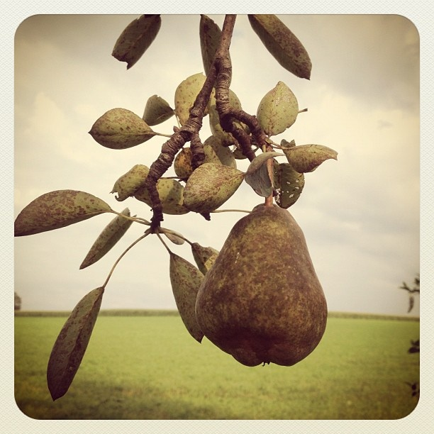 pear tree: Local Food, Business Logos, Standing People, Pear Trees, Golden Rings