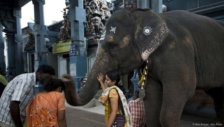 Forte de ses deux tonnes, l'éléphante Lakshmi, le regard fardé et scintillant de mille lumières, trône majestueusement devant le temple de Sri Manakula Vinayagar, dédié à Ganesh, l'un des dieux les plus populaires en Inde.
