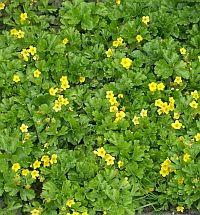 rönsyansikka, ikivihreä maanpeittokasvi, keltainen kukinta keskikesällä