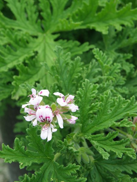Mosquito Plant Pink Bloom.  This plant is a rose geranium. Pretty and functional!