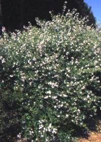 Freylinia tropica Transvaal honey-bell bush  a beautiful shrub with slender rather loosely spreading branches. It is fairly fast growing and reaches a height of about 2m with 1m spread