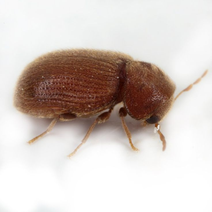 Drugstore Beetle  Pest Control Facts amp Information