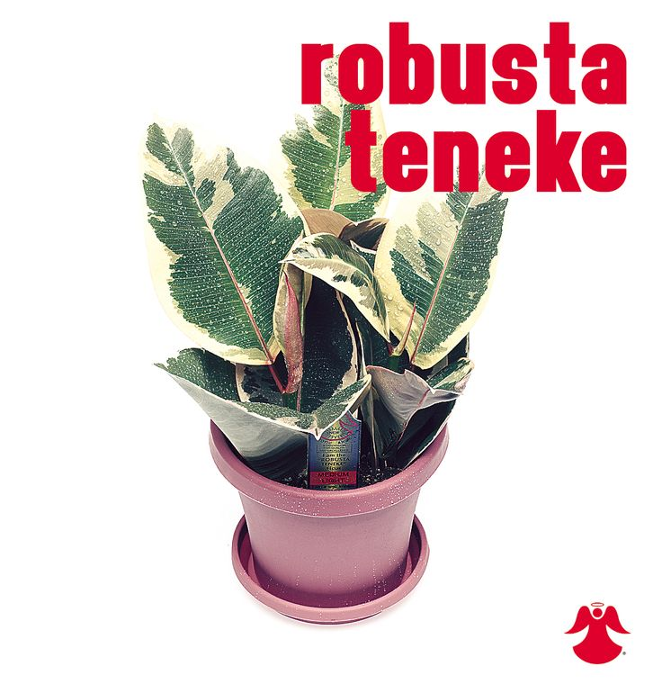 Ficus Robusta Teneke. Ficus Benjamina is the backbone of most house ficus varieties. In nature this graceful tropical tree of dense growth, forming aerial roots, and with branches of somewhat pendant habit originates from India, Southeast Asia and Australia.