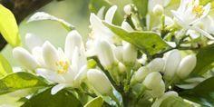 Parfumer son linge avec de la fleur d'oranger