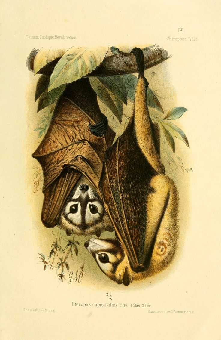 """""""The Bismark Masked Flying Fox (Pteropus capistratus) is a species of megabat in the Pteropodidae family found in Papua New Guinea and..."""