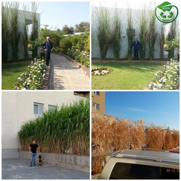 Miscanthus Ornamental