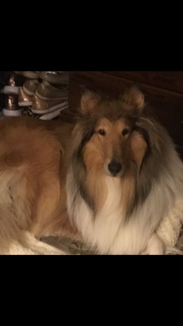Beautiful Rough Collie Bordercollie Rough Collie Collie