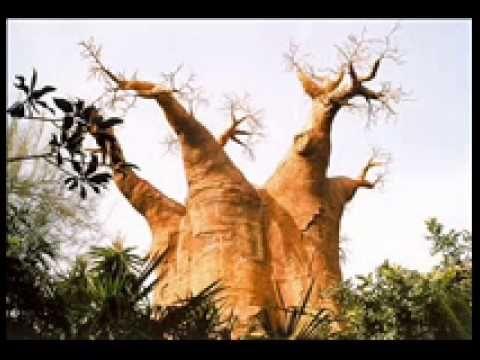 Baobab Trees / Arboles Baobab - YouTube