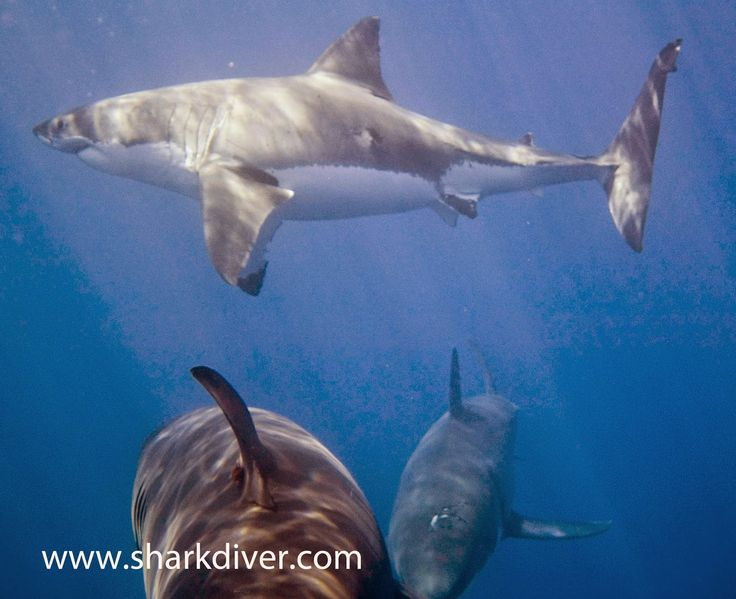 Shark Diver : Shark Diving : Swimming With Sharks: What's the difference between a Great White and a Tiger Shark?
