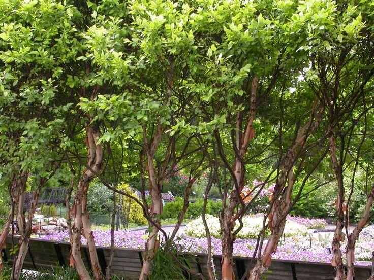 Betula nigra Little King FOX VALLEY Great for a rain garden.