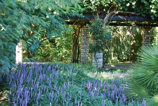 Liriope Muscari, LilyTurf, Blue Lily Turf, Monkey Grass, AGM Perennial, Purple flowers, Evergreen perennial